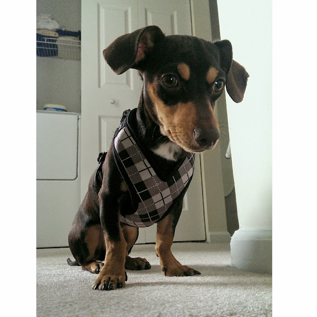 Puppy Dog Wearing Argyle