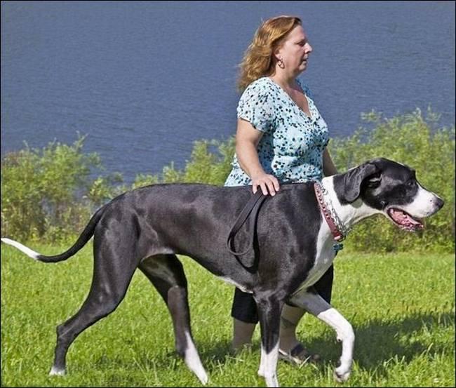 http://1.bp.blogspot.com/-lw41azuJdL8/Tocc3aL5_wI/AAAAAAAAjaY/Z0T3O2taRPg/s1600/Nova+Tallest+Dog+-+004.jpg
