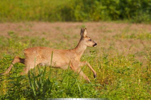 Ree - Roe Deer - Capreolus capreolus
