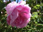 Några av rosorna i min trädgård