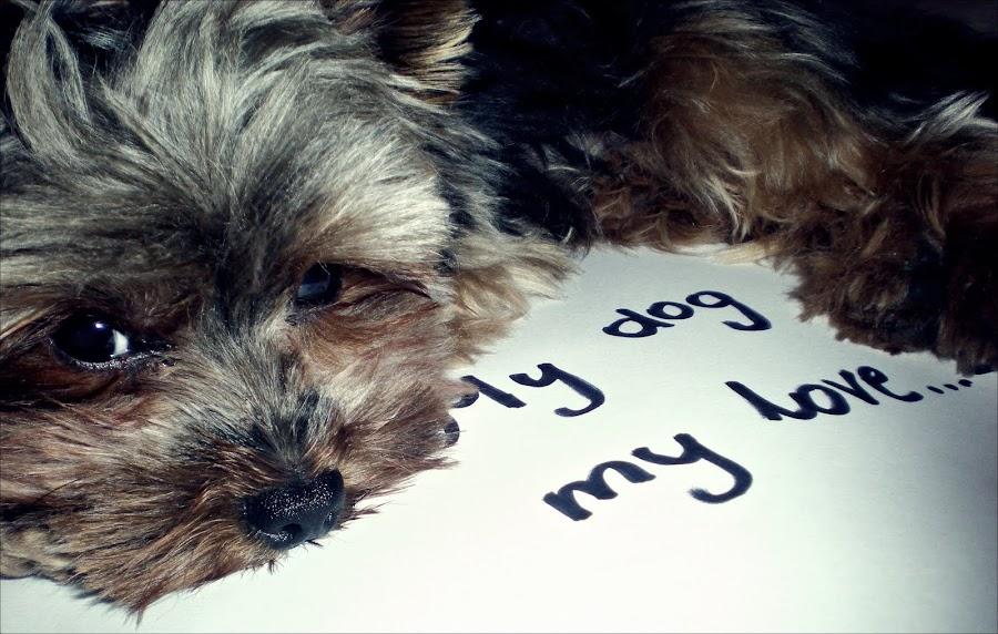 Yorkshire Terrier Cody czyli mój mały Napoleon.