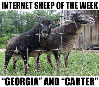 INTERNET SHEEP OF THE WEEK!