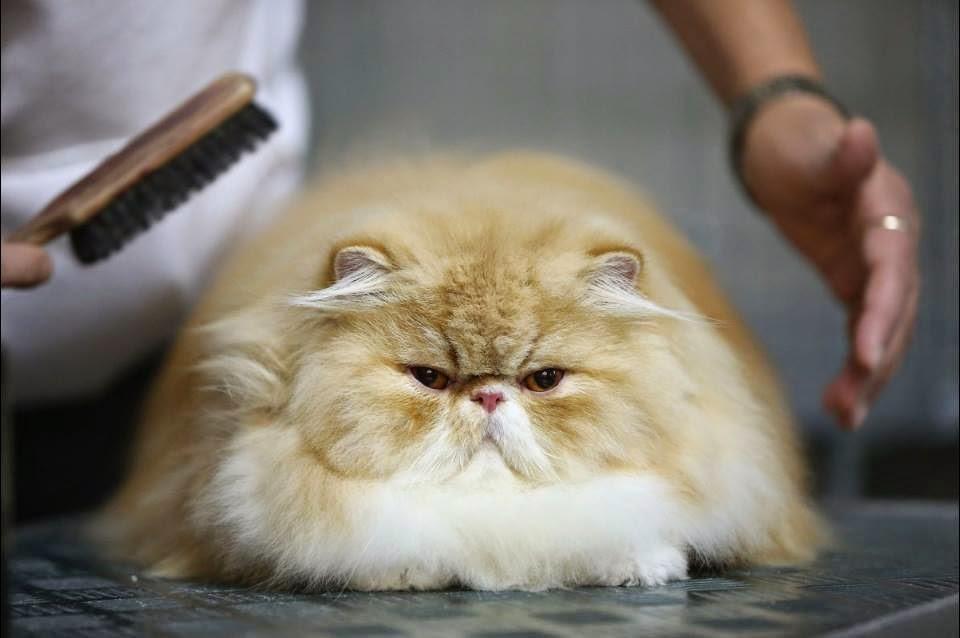 todo sobre mi gato: como llevarse el gato al agua: un buen baño felino