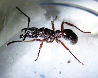 A 10 millimeter Gnamptogenys species