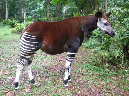 extinct-animals-rediscovered-caught-on-camera okapi