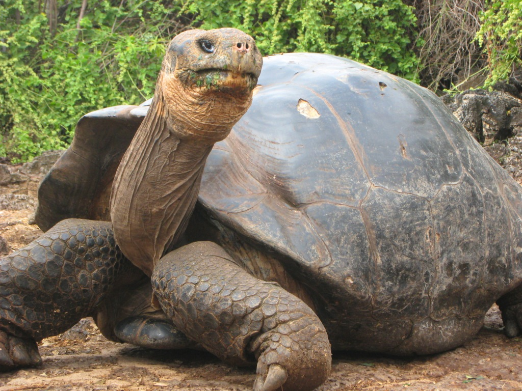 """galapagos tortoise Galapagos giant tortoise– life span of 190 years  the oldest verifiable record  was """"old billy"""", a 19th-century horse that lived to the age of 62."""