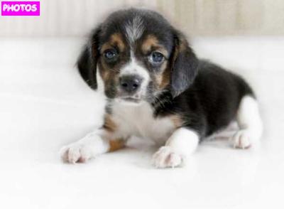 Cute Beagle Puppy | Beagle Puppies
