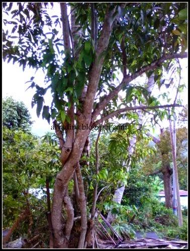 Pokok buah nona