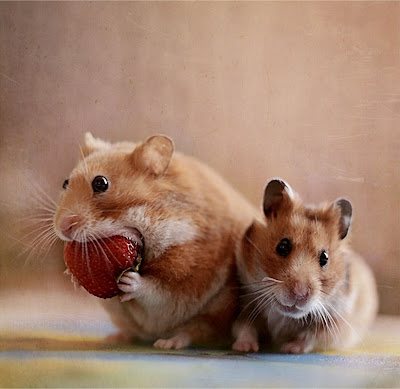 Hamsters comiendo fresas