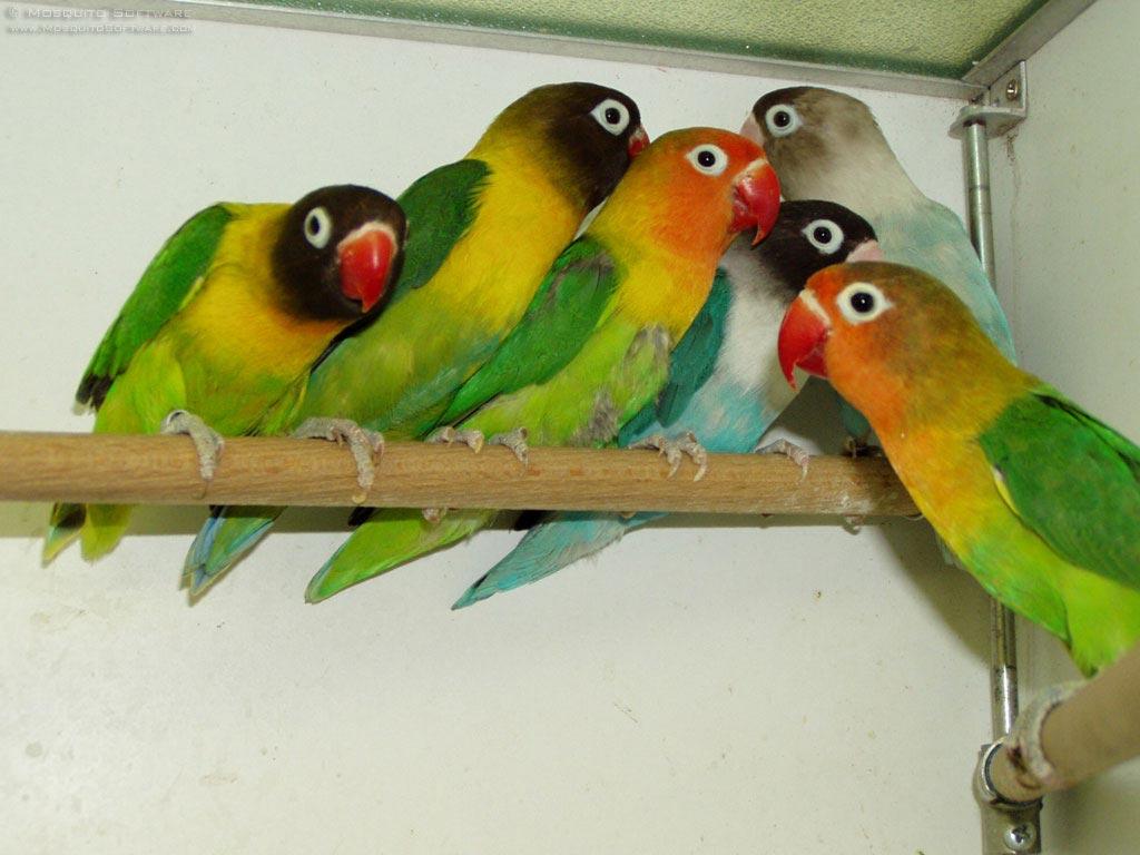 om hoby apa itu burung lovebird