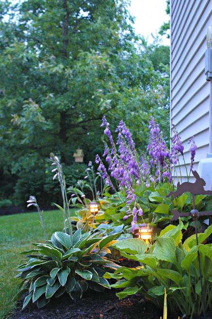 blooming hostas