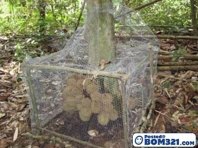 Pokok Durian Yang Aneh