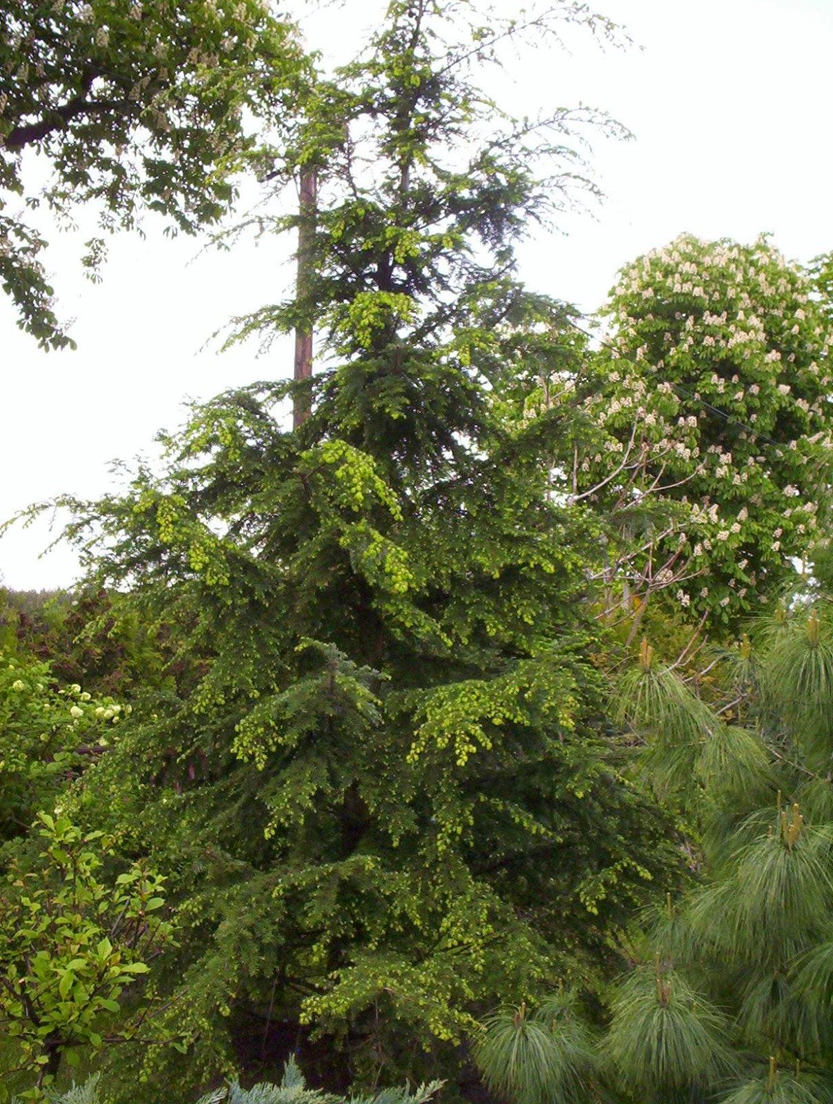 choina kanadyjska drzewko świąteczne