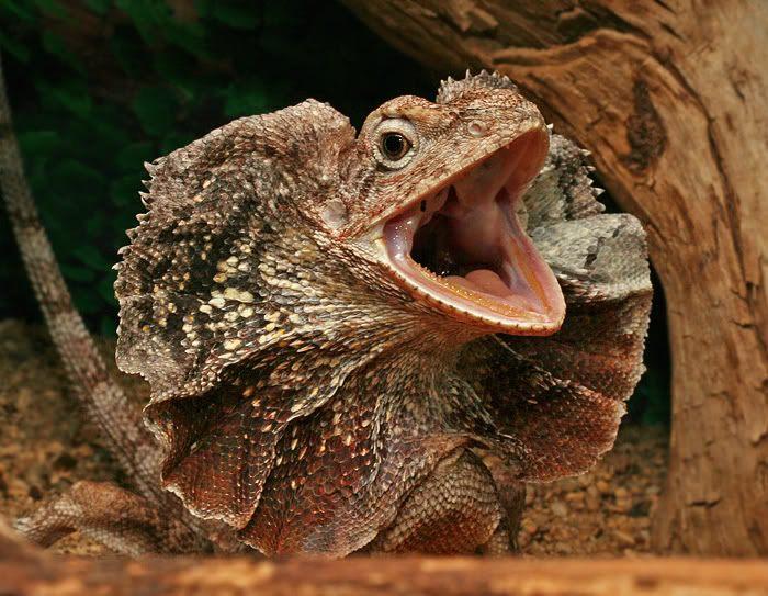 Frilled Lizard   Wildl...