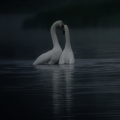 To svaner på en mørk sø