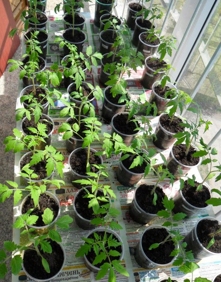Рассада помидоров на солнечной лоджии активно идет в рост