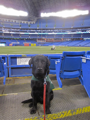 Black lab puppy Romero is sitting near the bottom of the field level bleachers at the Rogers Centre before the game. He is wearing his green future dog guide jacket and red leash, and is sitting in the middle of an aisle a couple rows us. There are blue seats on either side of him, and behind him a short blue gate that opens onto the field. The green turf field is empty, save for a bat boy sitting beside a bucket of baseballs. The vast stands are almost completely empty too - it is still quite a while before the game is scheduled to start. The dome roof above is closed (it is still April in Canada after all) and the bright stadium lights are reflecting down onto the field.