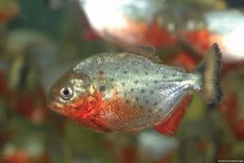 Akvaryum piranha balığı