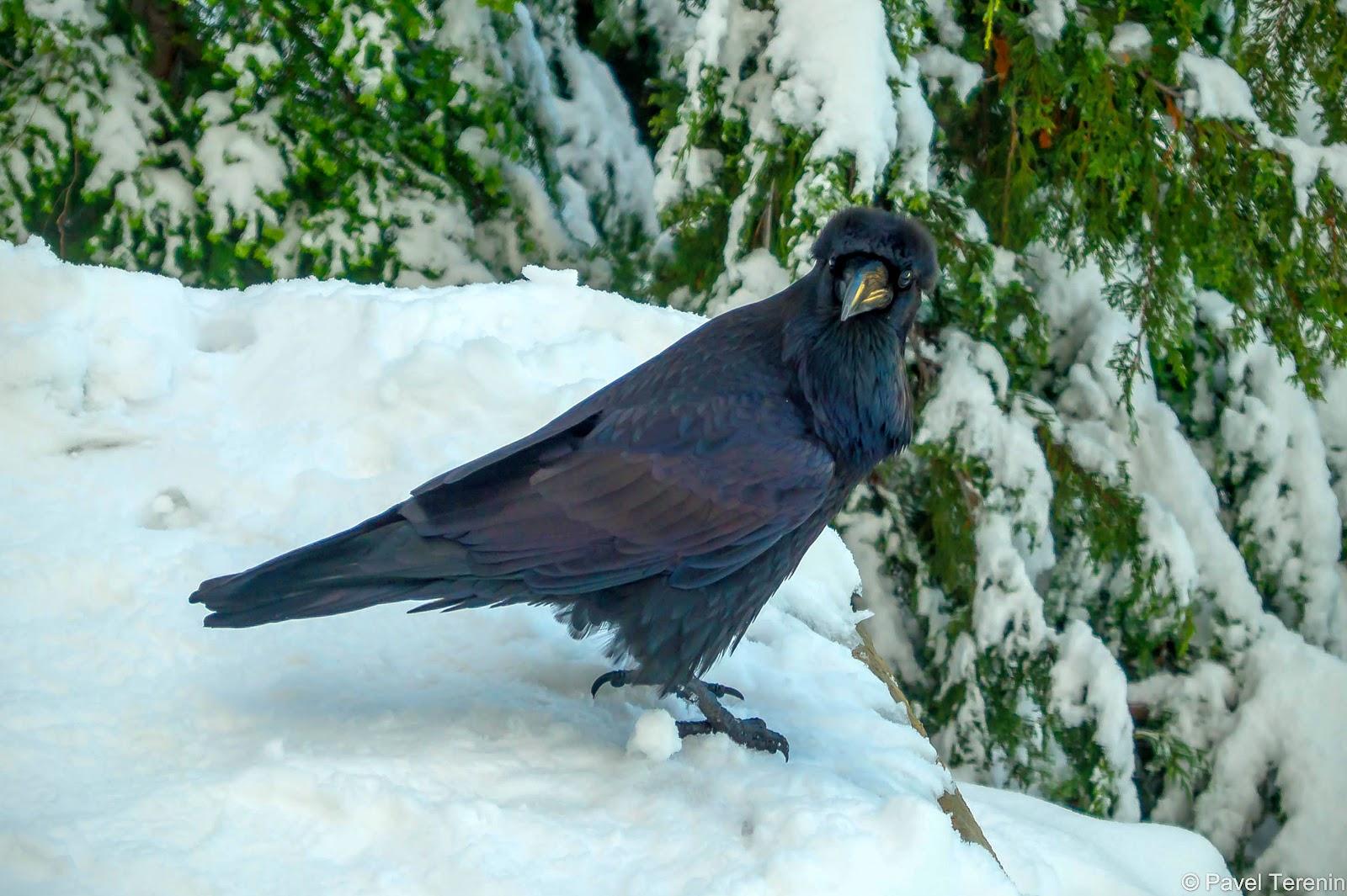 Пернатую компанию гостей дополнил огромный горный ворон, размером со среднего орла.