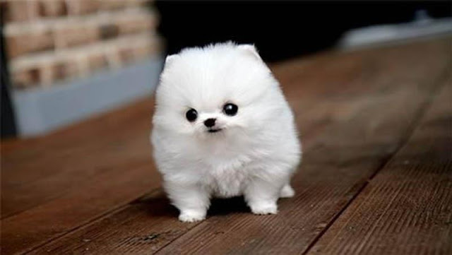 White adorable fluffy puppy image