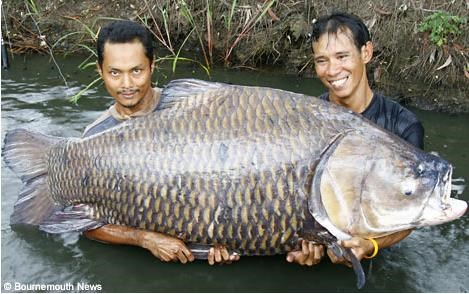 [Khám Phá] - Huyền thoại cá thầy chùa trên dòng Cửu Long 5