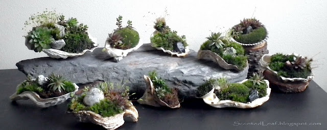 Mother's Day Special - Micro moss-gardens potted in oyster shells