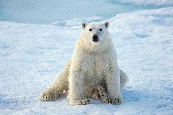 Gambar beruang laut