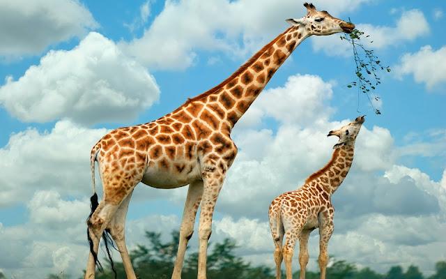 Animals Giraffe