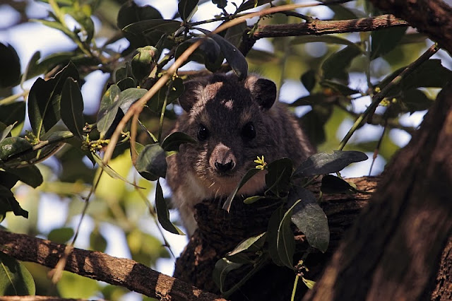 bush hyrax Heterohyrax brucei