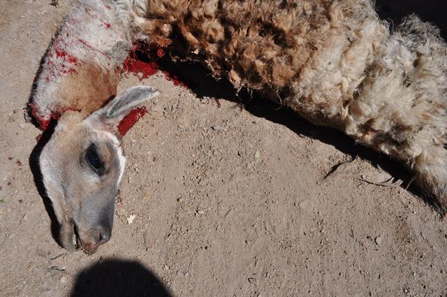 Llama Meat | echelberry.12's Blog