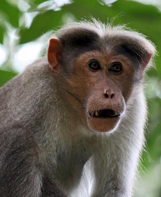 tense monkey