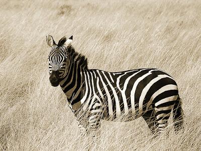 Beautiful Zebra Pictures