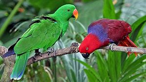 Foto burung electus