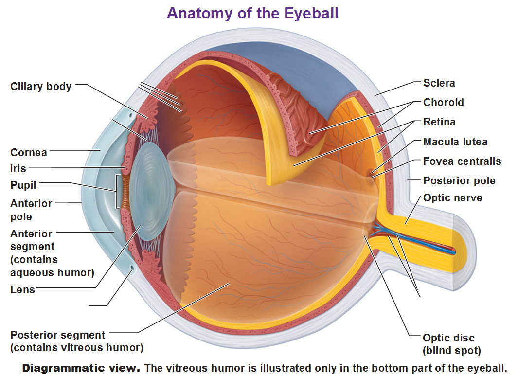 Diagram Of The Choroid Layer Eye - Trusted Wiring Diagram •