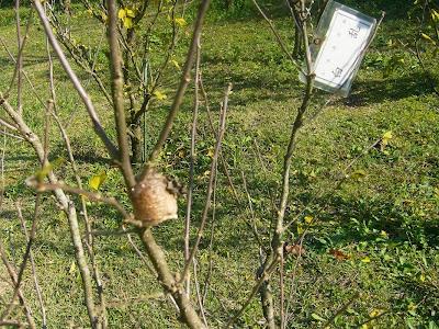 交野市・大阪市立大学 理学部付属 植物園 かまきりの卵