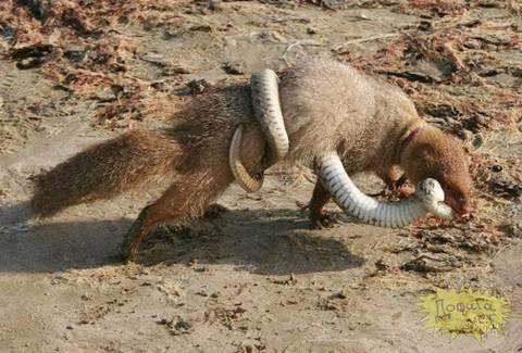 Mongoose Eating A King Cobra