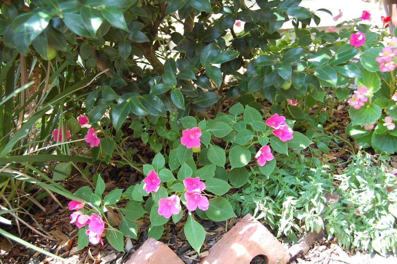 Jeannie 39 S Fairy Rose Louisiana Garden My Tiny Shade Garden