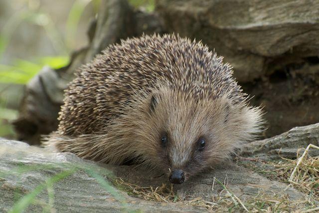 hedgehog profile