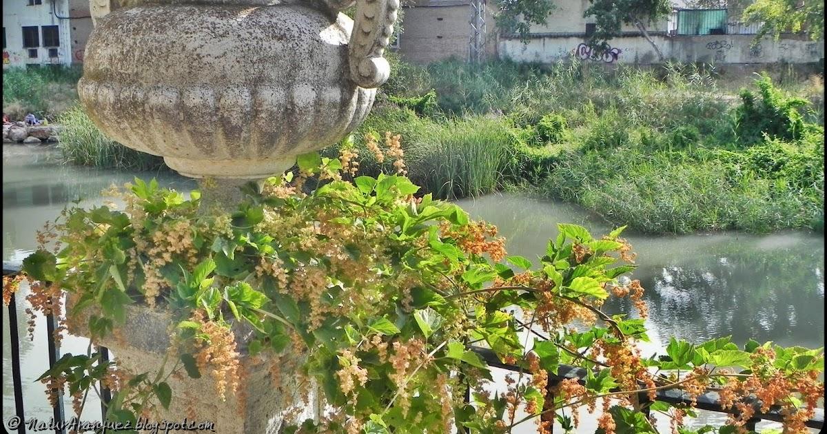 Naturaranjuez humulus lupulus l pulo for El jardin del lupulo