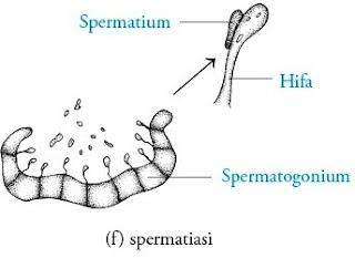 spermatiasi