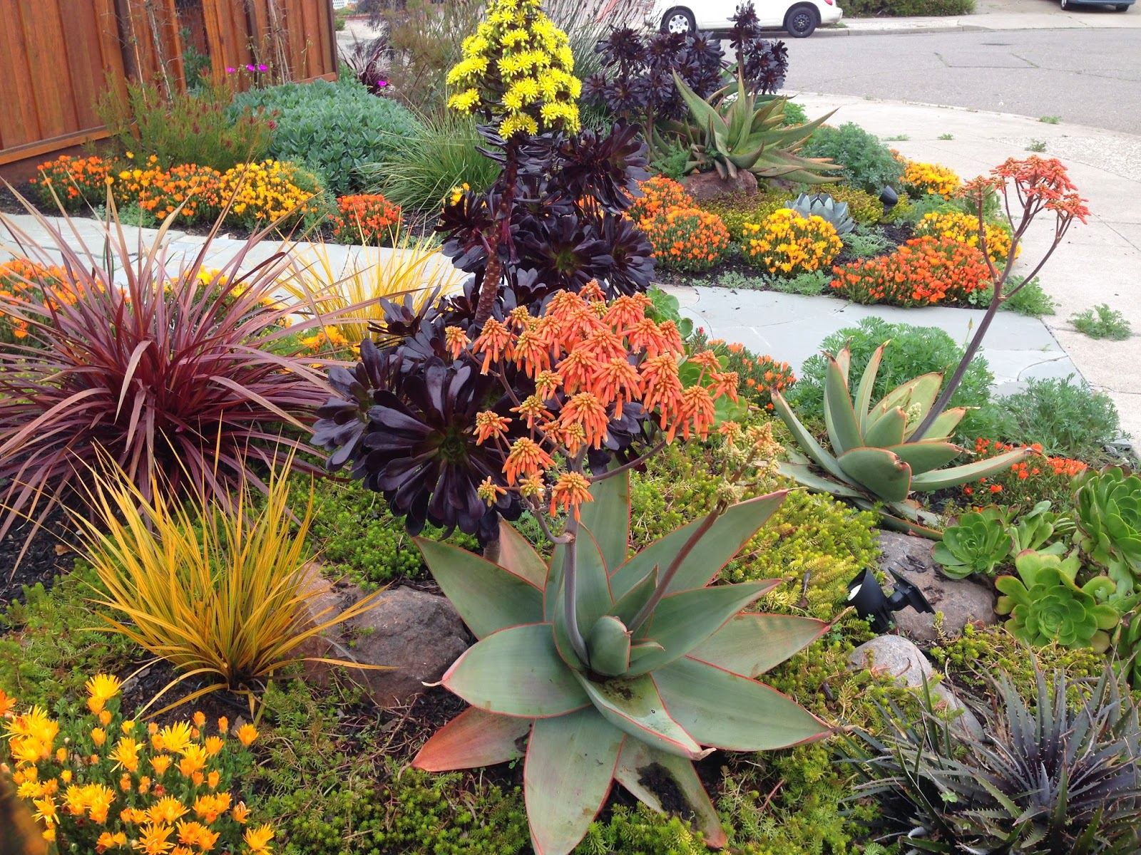 View all southern california landscaping pictures - Farallon Gardens Alameda Drought Tolerant Garden February Blooms