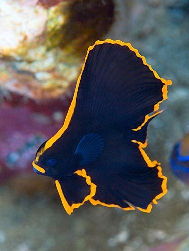 Home ? Amazing Animals ? Batfish