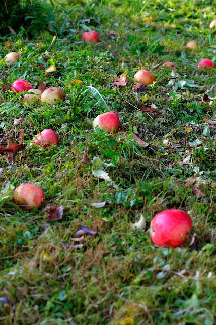 Äpfel auf der Wiese. Edyta Guhl.