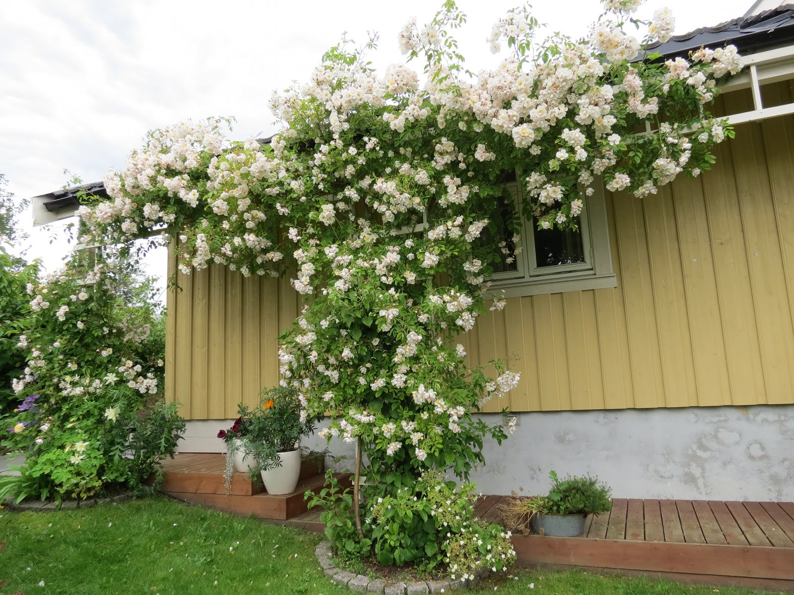 Rosa Helenae Hybrida