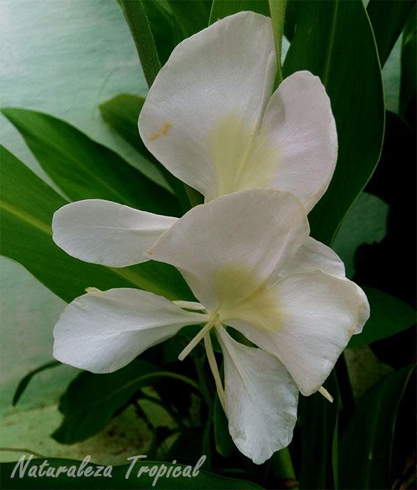 Flor mariposa (Hedychium coronarium)