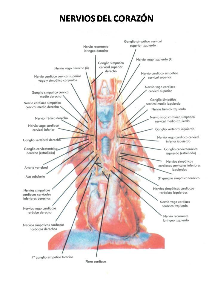 ATLAS DE ANATOMÍA HUMANA: NERVIOS DEL CORAZÓN / NERVES OF HEART