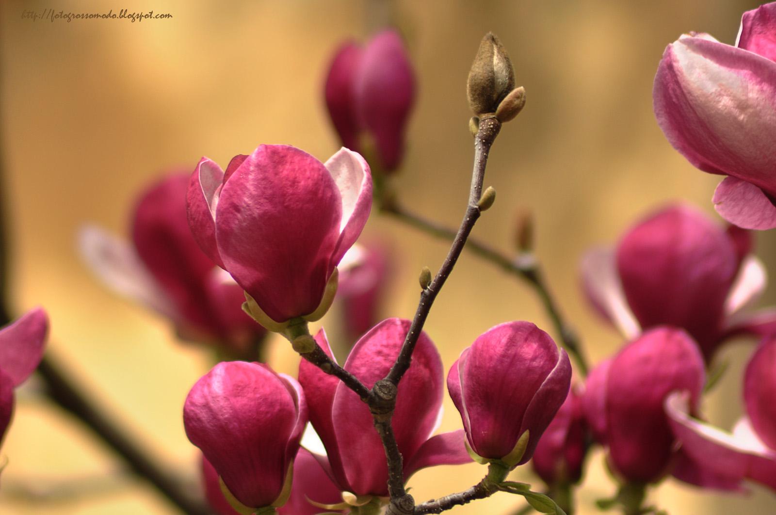 http://1.bp.blogspot.com/-m1jFrL5uvvU/Twx6Ghns2sI/AAAAAAAAEUM/HL-T5VOMLZM/s1600/magnolii.jpg