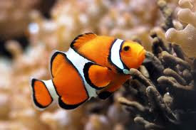 Clownfish In Anemonoe