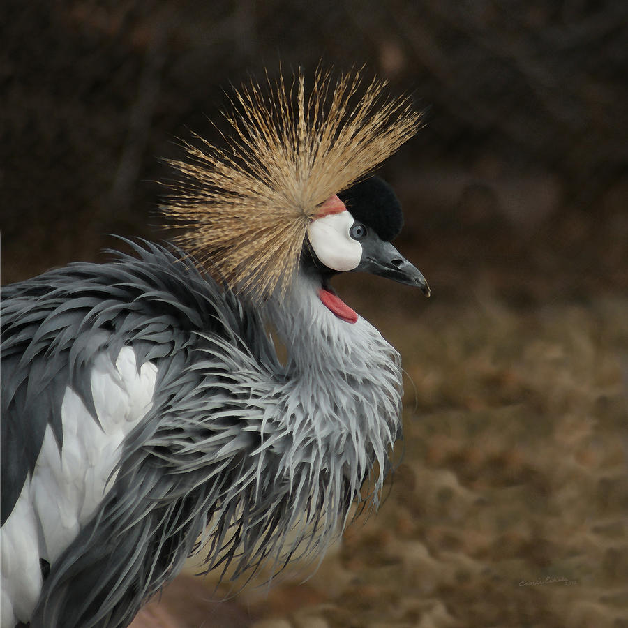 African crowned crane - photo#10