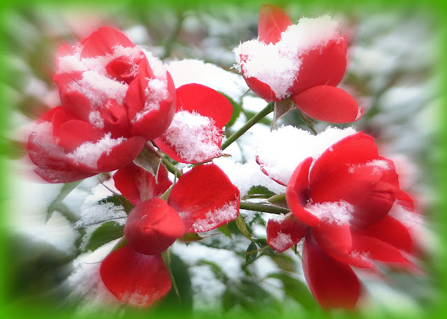 Snow, Roses, Essex Street, Salem, Massachusetts, christmas